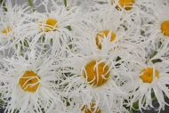 Leucanthemum Old Court Variety