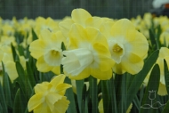 Narcissus Avalon
