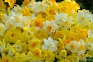 Narcissus jonquil hybrid mix