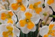 Narcissus Tricollet
