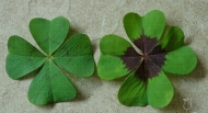 Oxalis deppei, Iron Cross
