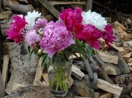 Paeonia cutflowers