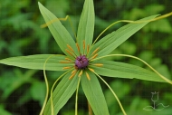 Paris polyphylla var. stenophylla