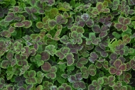 Trifolium repens Purpurascens