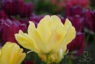 Tulipa Akebono