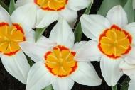 Tulipa Ancilla