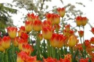Tulipa Aperatif