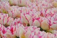 Tulipa Belicia