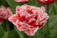 Tulipa Brest