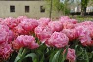 Tulipa Britt