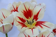 Tulipa Burning Heart