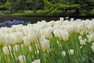 Tulipa City of Vancouver