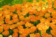 Tulipa Daydream