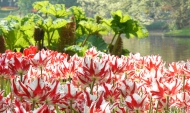 Tulipa Doortje Hes (R)