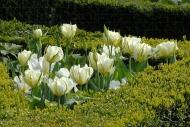 Tulipa Exotic Emperor