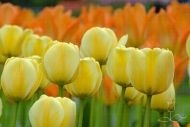 Tulipa Jaap Groot (R)