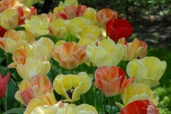 Tulipa Silverstream