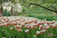 Tulipa world expression
