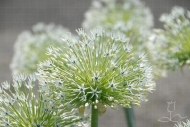 Allium White Empress