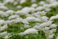 Anemone nemorosa flore plena