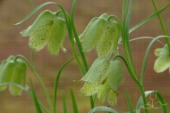 Fritillaria-whittalii-Green-Light