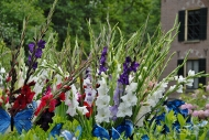 Gladiolus mixed cool