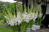 Gladiolus Sophie