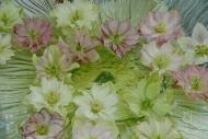 Helleborus orientalis double Ellen