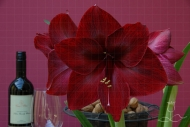 Hippeastrum Red Pearl
