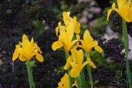 Iris Golden Beauty